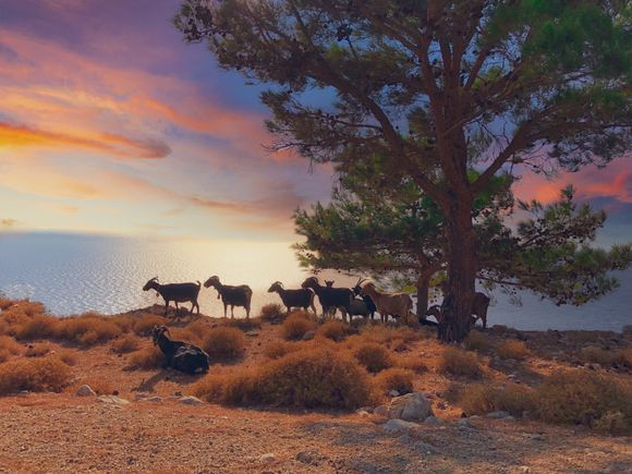 Really missing not being able to get to my happy place this year. It's the first time in five years we have not been able to get to Greece. This is a happy memory driving back from the Ariousios Winery in Northern Chios in the late afternoon as the sun was setting. A herd of goats stopped us as they trotted past on the way home to their farm on sunset. I had to get this shot of them resting by the tree. I love how un-touristy and authentic Chios is.