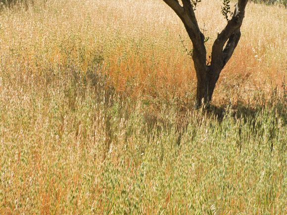 Wild oats in olive grove near Agia Marina - May 2008