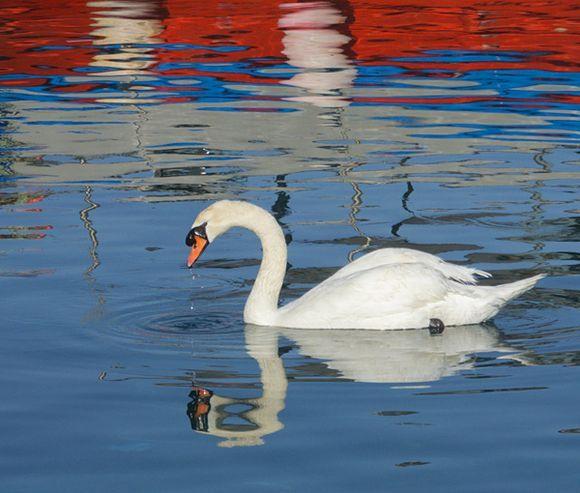 Swan in Batsi Harbour 1