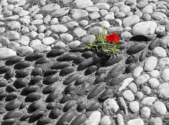 Persistent Poppy