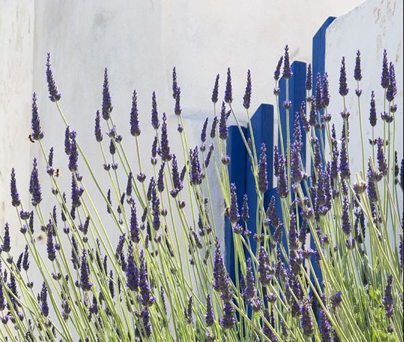 Lavender and blue gate