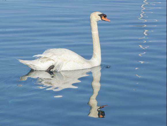 Swan in Batsi Harbour 2