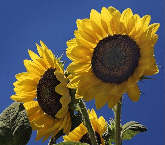 Sunflowers in Arkesini