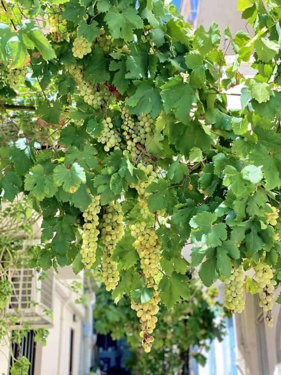 Grapes among neighbors 📍Kritsa, Ágios Nikolaos. 08.2020 Hope you like it 📸 #GreekaPhotoConstest