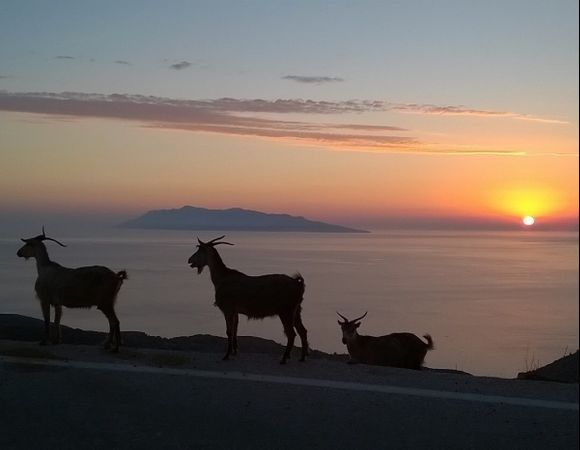 Goats at sunset