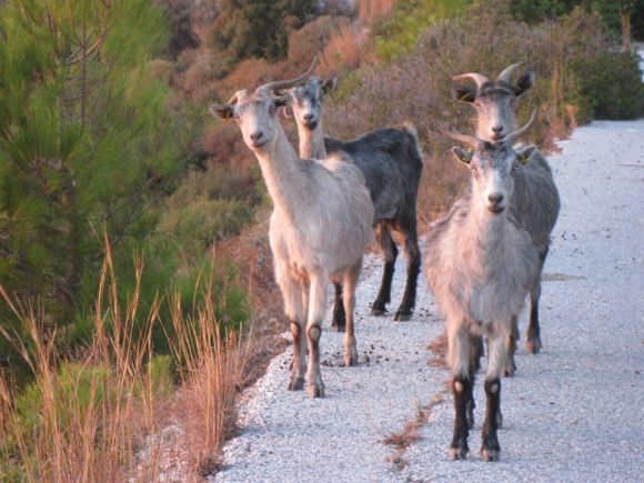Goats on the road to Drakei