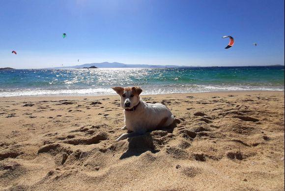 Happy surfer's dog