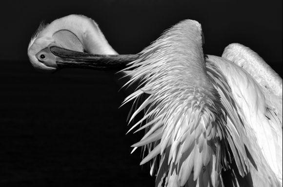Pelicano of Mykonos