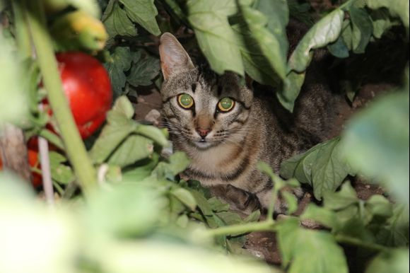 Cat of Nafpaktos
