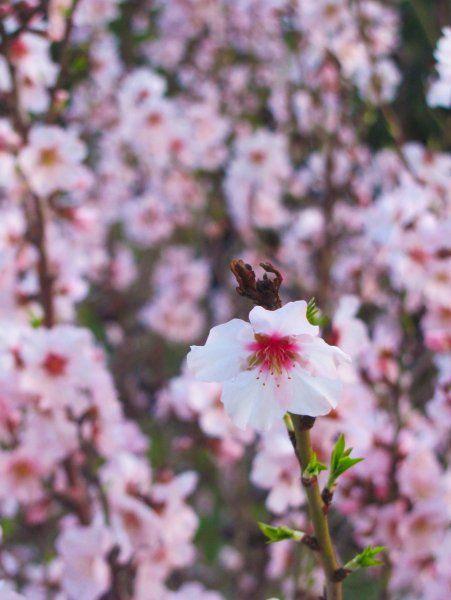 Bloom, almond tree, bloom! :)