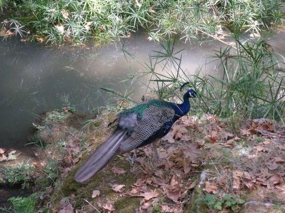 Peacock, Rodini Park, Ausgust 2010