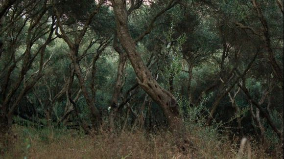 Dancing Olive Trees