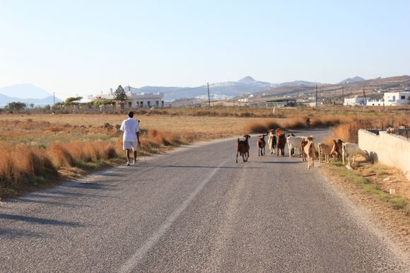 A goatherder and his herd near Zefyria.