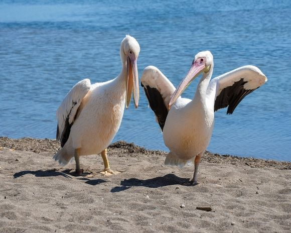 One- or two legged pelican?