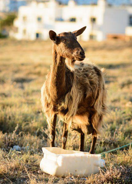 Goat ahead!