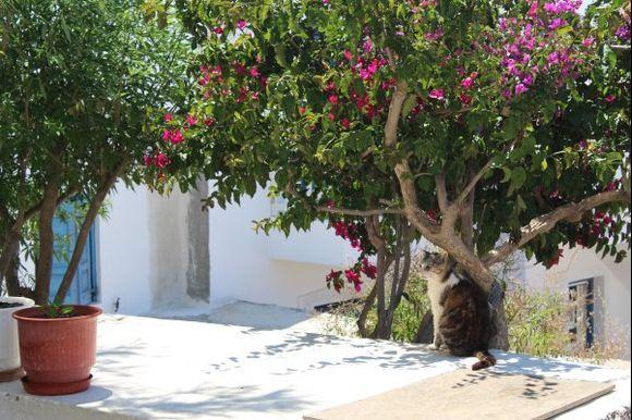 Bouganvillea + cat = Greece! :-)))