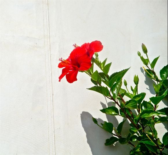 Only a geranium... no I am wrong: it is hibiscus...