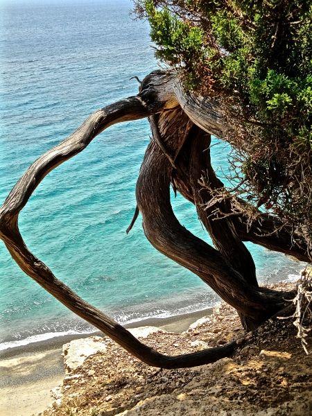 Kato Koufonisi: impressive tree on the way to Nero beach