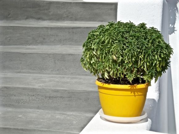 Basil in yellow pot