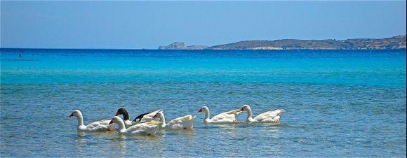 Geese at Platis Gialos