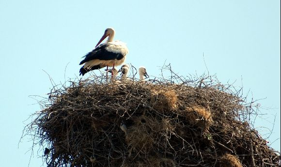 White Stork and young
