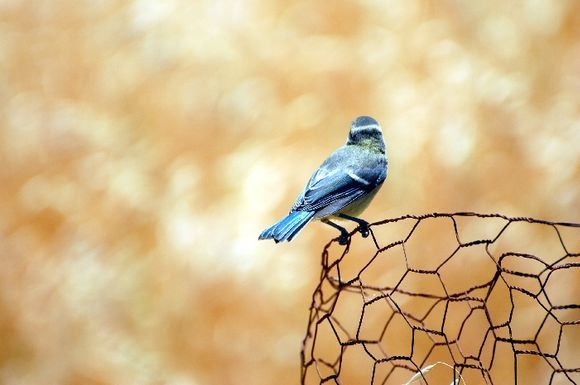 Tit on the fence