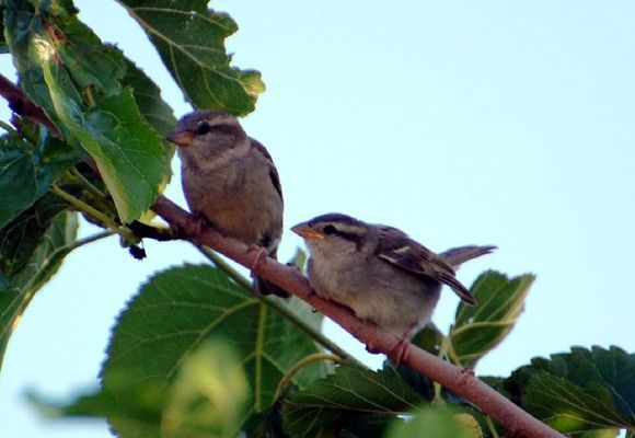 Young Spanish Sparrows