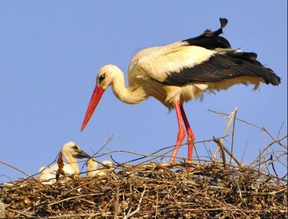 White Stork & Chicks