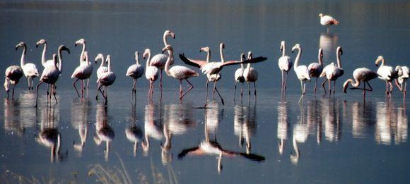 Flamingo\'s in saltworks Kalloni
