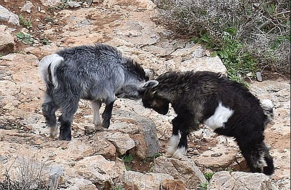 Fairy tale: Two (Little/Silly) Goats