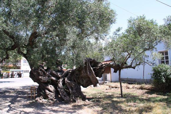 Very aged but alive and kicking green Kambi, Zakynthos, Ionian Islands, Greece