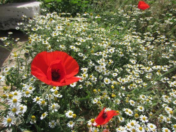 Wildflowers and poppy near Sanctuary of Dionysis