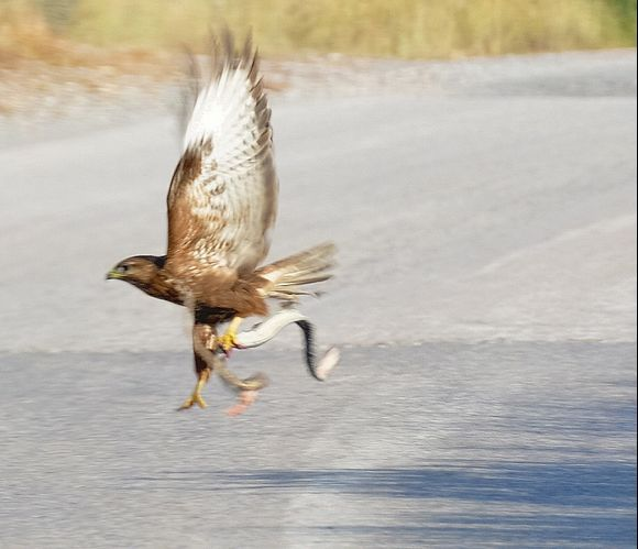 A hawk who catch a snake on the road to Zakros.