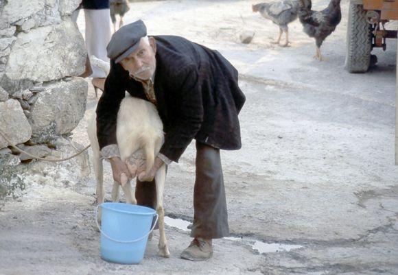fresh goat milk.