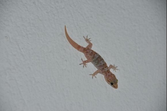 Curious gecko on the wall.