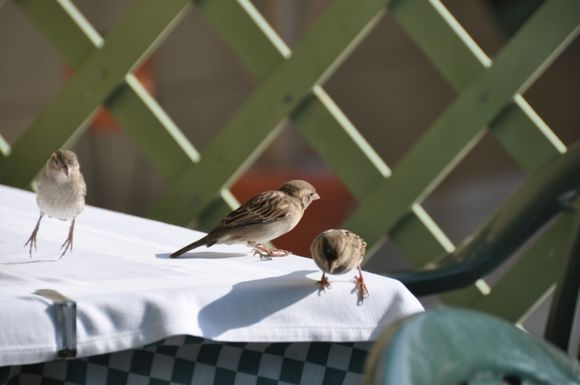 Sparrows looking for food on the tables.(Kiotari)
