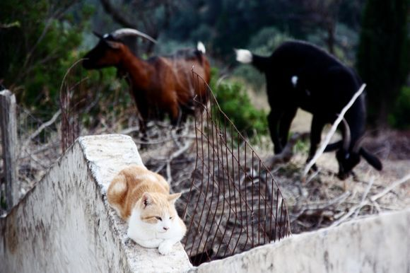 Cats and goats in Alonissos
