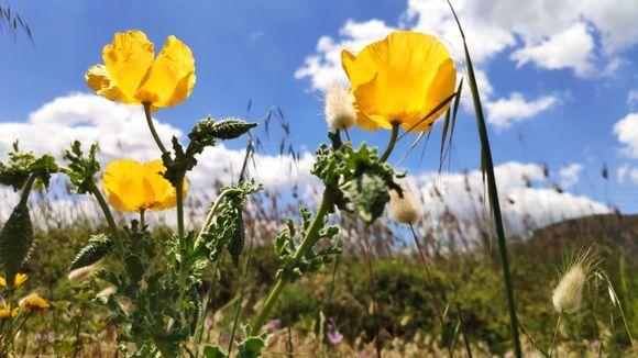 cretan wild yellow poppy seeds flowers