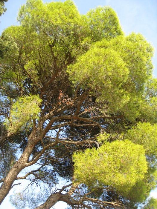 A beautiful tree above Stafilos beach