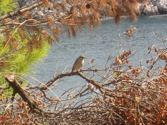 A bird resting in the trees between the Taverna and Stafilos beach. At the time I thought it was a flycatcher but enlarging the photo makes me think it was an isabelline wheatear.