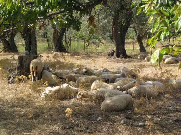 Another photo taken on the old road between Skopelos town and Stafilos beach.  The sheep seemed very hot.
