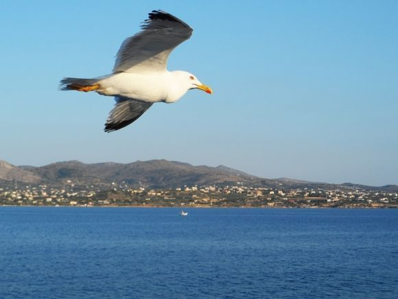 On my way to Aegina island and my favourite theme ....seagulls