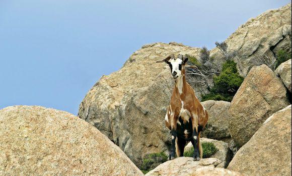 15-09-2020 Ikaria: Curious goat