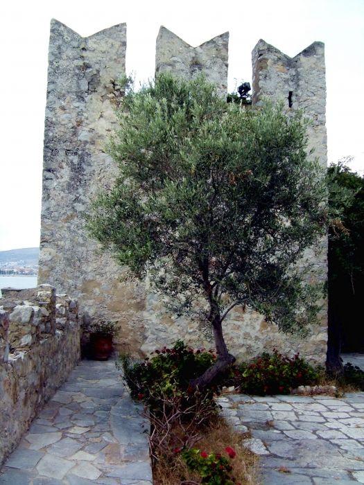 olive tree in Bourtzi