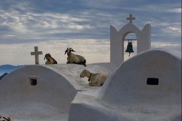 Sacred goats