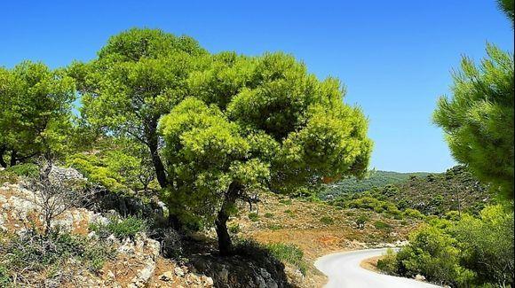 Keri cape - green tree Pinia