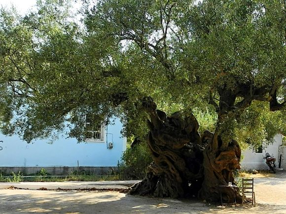 The oldest olive tree on the island.