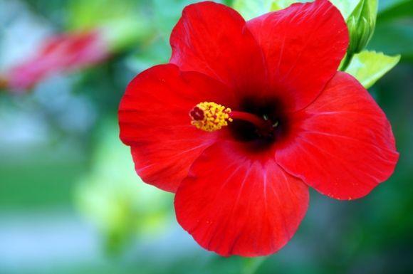 hibiscus in Bali