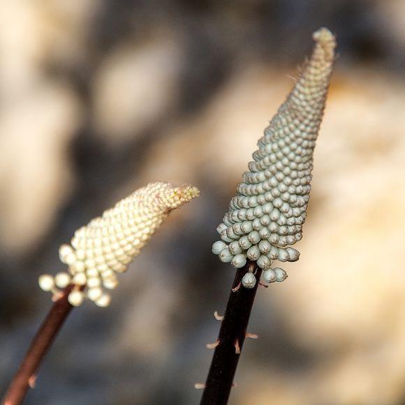 Monolithos castle - flowers