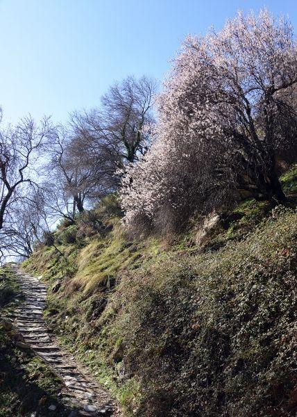 An almond tree in bloom in the village of Makrinitsa